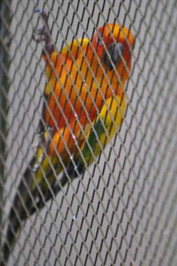 Amazon Animal Life Bird Cage Caged Close-up Colorful Freedom Green Color Multi Colored No People Orange Color Parrot Selective Focus Zoo