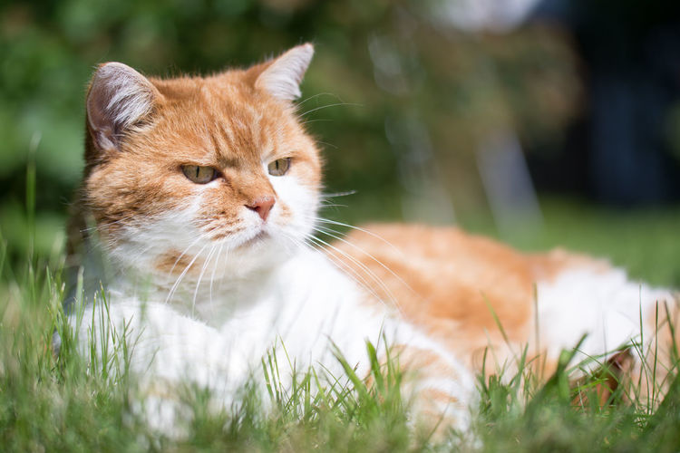 Cat Animal Themes Cat Close-up Day Domestic Animals Domestic Cat Feline Grass Mammal Nature No People One Animal Outdoors Pets Relaxation Tabby Cat
