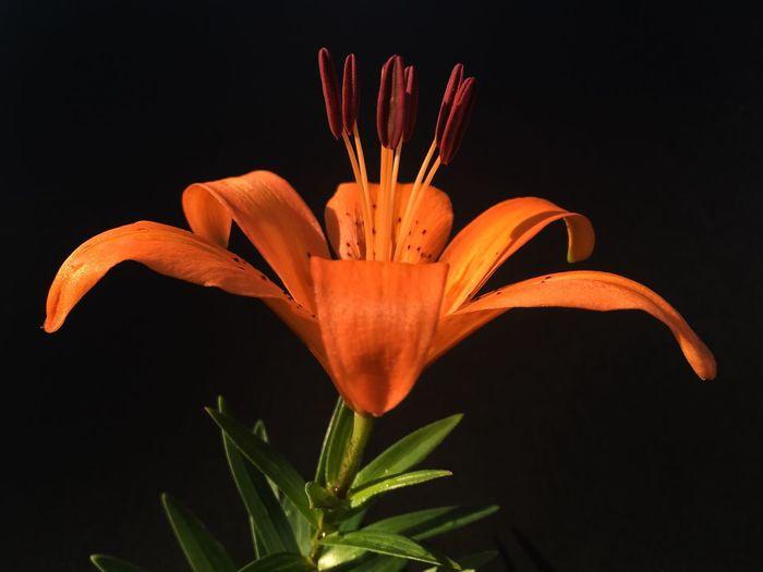 Orange lily against black background