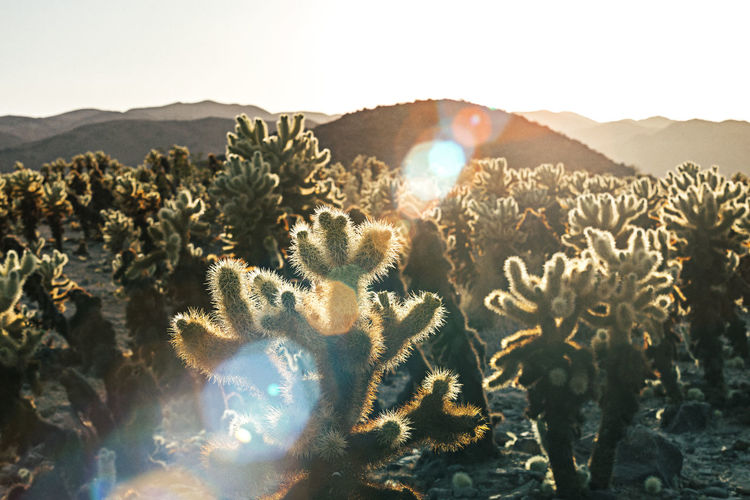 Cholla cactus in the California desert. Sky Nature Sunlight Beauty In Nature Plant Growth Mountain Tranquility No People Scenics - Nature Day Tranquil Scene Land Lens Flare Succulent Plant Non-urban Scene Sunbeam Desert Cactus Outdoors Arid Climate