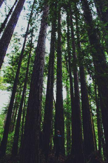 Forest Green Santa Cruz Pinetrees Redwoods Hikingadventures