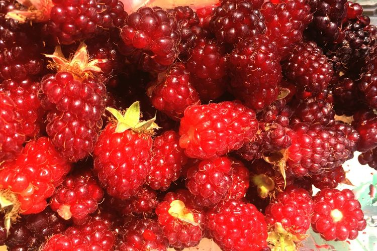 Tayberries Raspberry♥ Raspberries Raspberry Tayberries Tayberry Pick Your Own Fruit Pyo  Red No People Food And Drink Berry Fruit Full Frame Close-up Fruit Healthy Eating Backgrounds Wellbeing Food Freshness Nature Plant