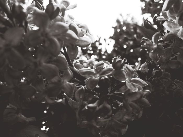 Lilac Flower Nature Plant Beauty In Nature Tree Freshness Fragility Close-up Day Blackandwhite Growth The Week On EyeEm Moody Rain Drops Black And White Friday