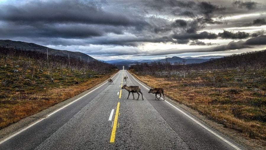 Nature Roadtrip Reindeer
