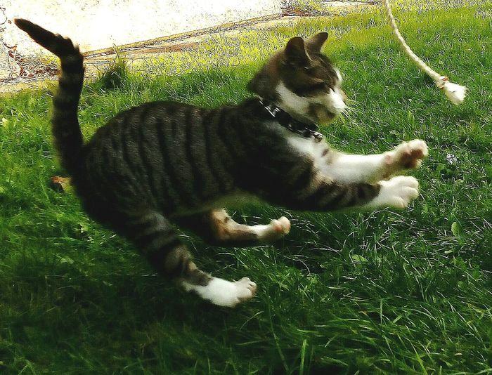 Karate Cat Kitty Cat Green Lush Grass Kitten Exercising Pashah amazing Kitten 🐱