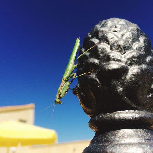 Blue Cavallion Grasshopper Close-up