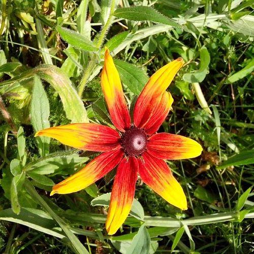 #flower #flowers #rudbeckia #рудбекия Flowers Flower Rudbeckia рудбекия