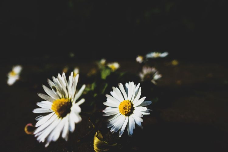 Flower Flowering Plant Freshness Vulnerability  Fragility Petal Beauty In Nature Plant Flower Head Growth Close-up Inflorescence Nature White Color No People Daisy Night Copy Space Outdoors Focus On Foreground Pollen EyeEm Best Shots EyeEm Nature Lover EyeEm Selects My Best Photo Springtime Decadence