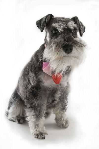 Miniature Schnauzer. Beard Dog Domestic Animals Ears Grumpy Miniature Schnauzer One Animal Pets Ribbon Schnauzer Schnauzerlove Schnauzers Studio Shot White Background