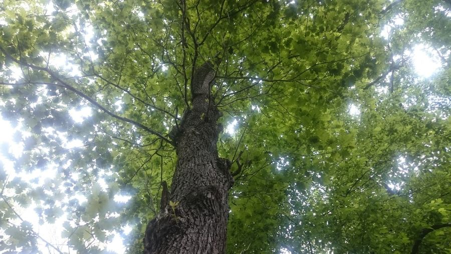 Tree Plant Low Angle View Tree Trunk Trunk Beauty In Nature Day Tranquility Foliage Tree Canopy  Directly Below Sunlight Nature No People Magical Trees Serene Freedom Connection Connected With Nature Small Feeling Small And Great Majestic Majestic Nature Nature_collection Full Frame