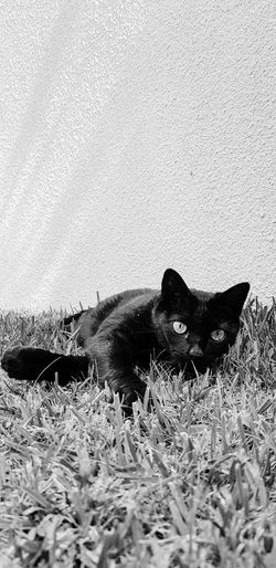 Cat BLackCat Blackandwhite Blackcatlove Blackcatbeauties BombayCat Animals Animal Theme Beauty In Nature Outdoors Nature Feline Domestic Cat