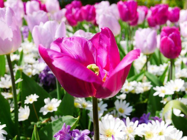 pink Flower Head Flower Peony  Flowerbed Beauty Pink Color Petal Springtime