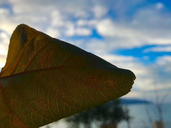 Radhime Fragility Maple Leaf Beauty In Nature Tranquility Maple Focus On Foreground No People Close-up Autumn Outdoors EyeEm Ready   Cloud - Sky Sky Day Change Nature Leaf #blurred #sea #Meer #love #Radhime #vlore #albania #Iphoneography