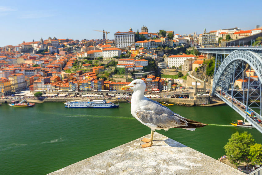 Seagull looking at the city of Porto skyline. Freedom and travel concept. Aerial view of iconic Dom Luis I Bridge on Douro River on the horizon with blurred background. Portugal Porto Tourism City Aerial View Cloudscape Cityscape Landscape Panorama Europe People Church Church Architecture Architecture Town Porto Portugal 🇵🇹 Monment Oporto City Oporto Downtown Oporto Streets Seagull Bridge River Sea Animal Themes Animal Bird Vertebrate Animals In The Wild One Animal Animal Wildlife Building Exterior Built Structure Perching Water Day Nature No People Building Wall Outdoors