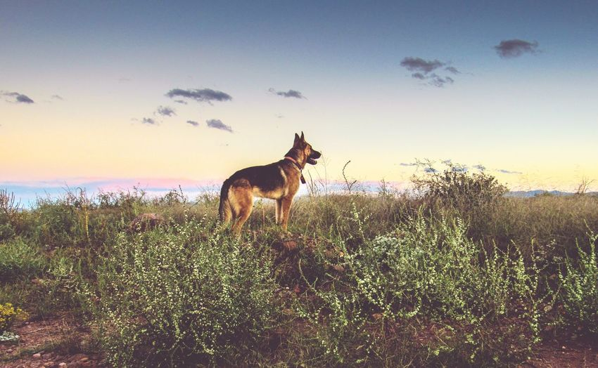 My baby ❤ Animals In The Wild Outdoors Sky German Shepherd Dog Landscape Puppy