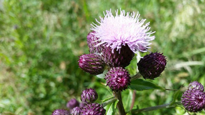 Flower thistle how nice ☺