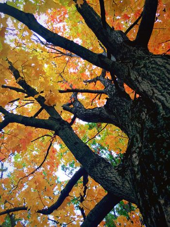 Amazing how strong this trees branches are and so beautiful. Taking Photos Nature Trees Fall Beauty