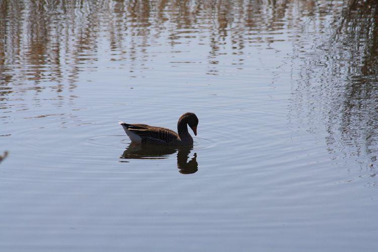 Duck Animal