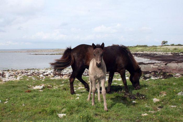 Landscape_Collection EyeEm Nature Lover Horses Icelandic Horse
