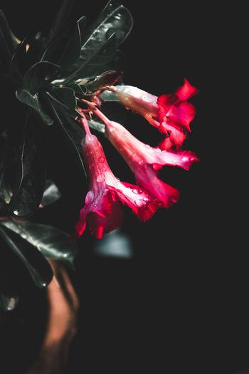 Azalea flower,