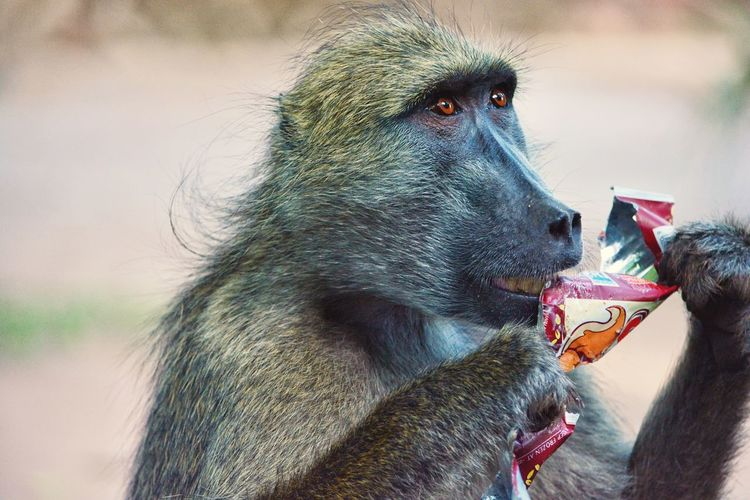 FUNNY ANIMALS Lion And Cheetah Park Harare Zimbabwe 🇿🇼 Humanlike Wildlife Eating Litter Animals In The Wild Animal Wildlife Baboon Monkey Mammal Outdoors No People Day Nature Close-up Animal Themes