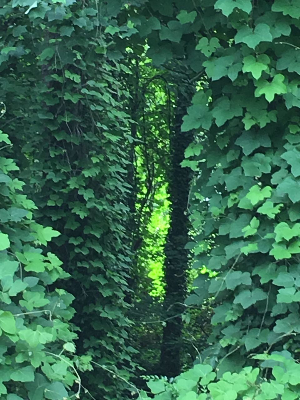 growth, leaf, plant, green color, nature, green, ivy, day, outdoors, forest, tree, lush foliage, no people, tranquility, beauty in nature, close-up