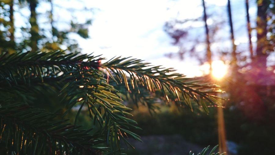 Close-up Sunlight Outdoors Tree No People Beauty In Nature Summer Perspectives On Nature Vännäs Sunset Green