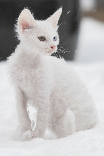 Odd eyed LaPerm kitten in snow Domestic Cat Feline Kitten LaPerm LaPerm Cat Odd Eye Odd Eyed Odd Eyes Cat Outdoors Pets Portrait Sitting Snow White Color
