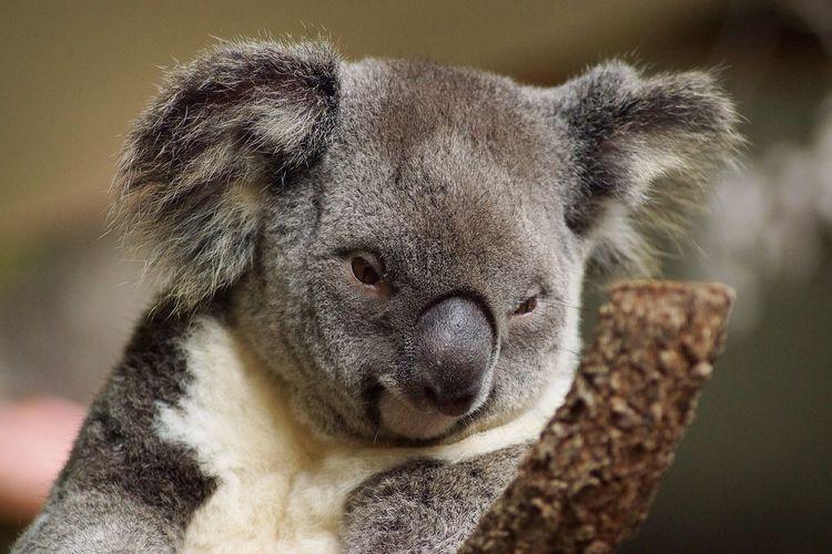 Close-up of koala looking down