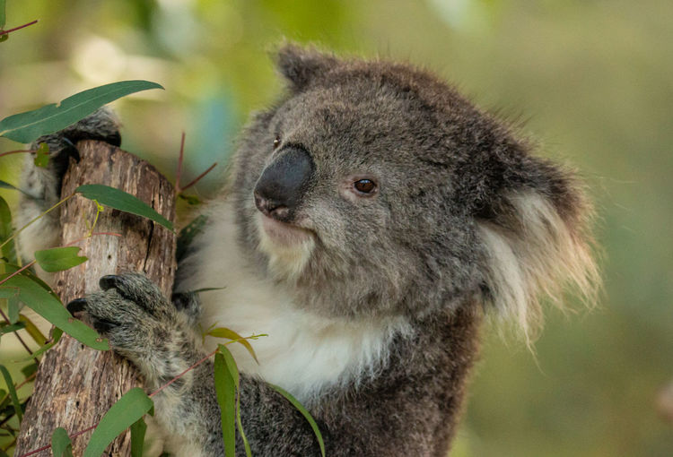 Gum Tree Jason Gines Koala