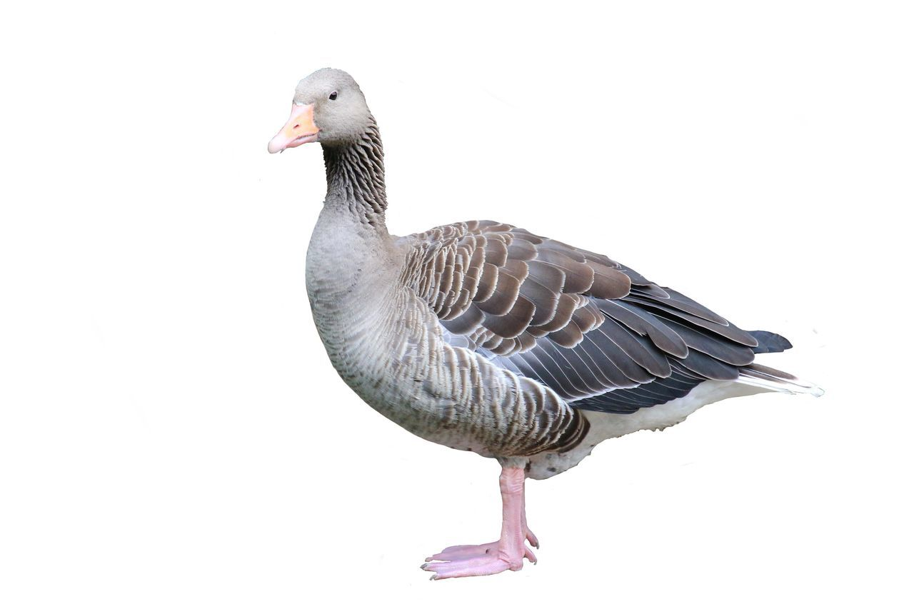 Close-Up Of Goose Against White Background