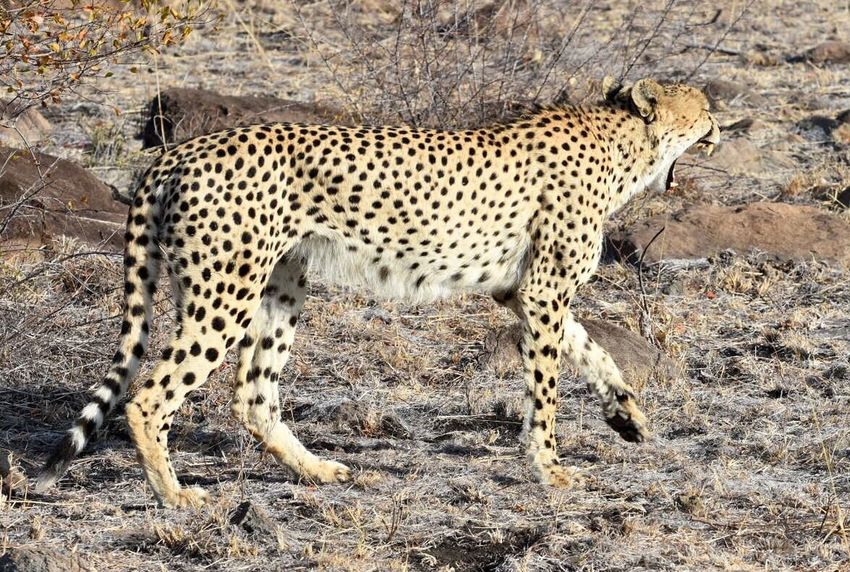 Colour Of Life Beauty In Nature Nationalgeographic Getty Images EyeEm Nature Lover EyeEm Best Shots Sabi Sands Krugernationalpark Safari Animal Teeth Animals In The Wild Cheetah One Animal Animal Markings Jaw_dropping_shots Attackmode