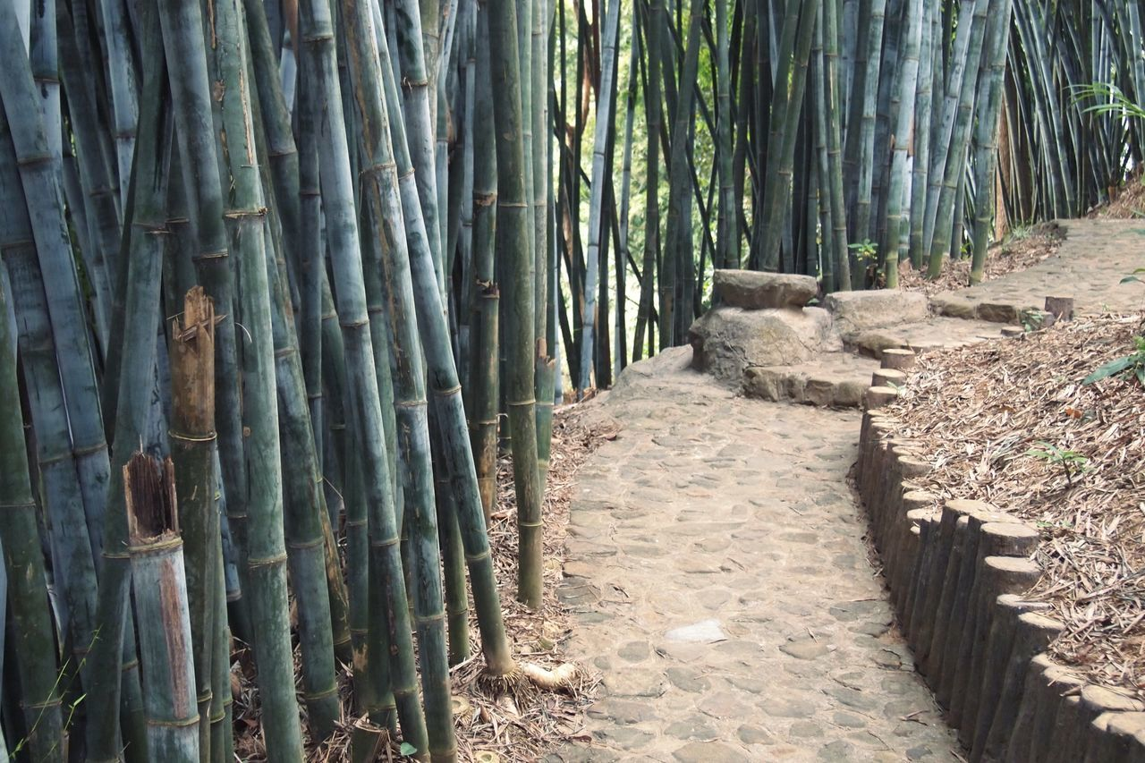 BAMBOO TREES IN THE FOREST