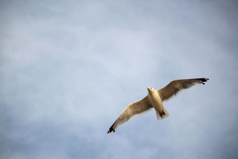 seagull EyeEm Selects Bird Of Prey Bird Spread Wings Flying Mid-air Full Length Animal Themes Sky Cloud - Sky Close-up Seagull Sea Bird