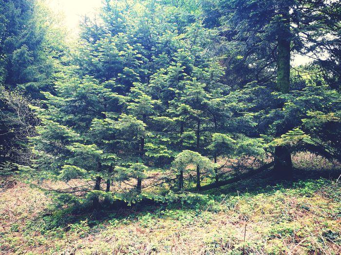 comment une branche qui est tombé a pu faire repousser 6 pins ... France 🇫🇷 Sud-ouest Forêt And Nature Nature Backgrounds Full Frame Sunlight Close-up Green Plant Life