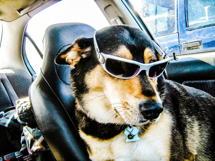 Germanshepherd Husky Dog Rockin The Shades Cool Dog Husky Shepard Hello World Nova Scotia Close-up Enjoying Life Check This Out Pet Domestic Animals Cute Pets Animal Themes Going For A Drive 43 Golden Moments
