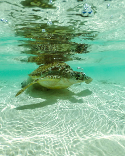 I have trouble adding location. This was taken in Sounth Ari Atoll Maldives. March 2018 Dinosaur EyeEm Best Shots Growth Maldives Tropical Paradise Turtle 🐢 Animal Animal Wildlife Animals In The Wild Beachphotography Beauty In Nature Climate Change Enjoying Life Islandlife Malediven  Nature_collection No People Ocean One Animal Reptile Photography Split Photograph Tropical Climate Turtle Underwater Water