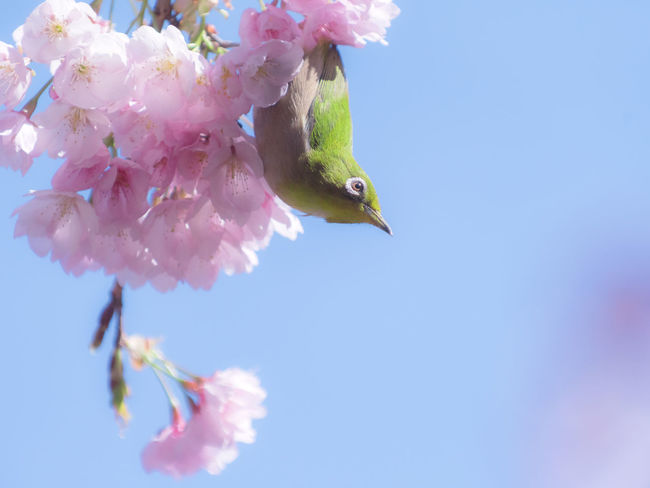 Mejiro bird perching in the cherry blossoms in Japan. Animals In The Wild Bird Photography Cherry Cherry Blossoms Japan Sakura Animal Animal Themes Beauty In Nature Blooming Clear Sky Day Flower Freshness Low Angle View Mejiro Mejiro Birds Nature No People One Animal Perching Pink Color Sakura Blossom Wildlife