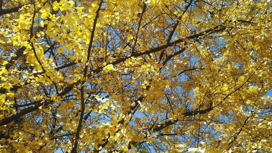 Low Angle View Tree Yellow Nature No People Growth Branch Full Frame Beauty In Nature Outdoors Backgrounds Close-up Autumn Day Sky Fragility