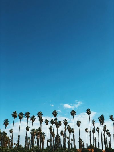California Palm Trees Sky Blue Low Angle View Nature Copy Space No People Plant Outdoors Clear Sky