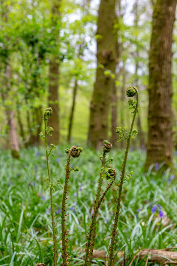Unfurling fern buds in a bluebell wood in springtime Unfurling Unfurling Fern Fern Fern Bud Bluebell Wood Sussex WoodLand Spring Plant Growth Tree Green Color Forest Nature Beauty In Nature Focus On Foreground Land Day No People Outdoors Tranquility Close-up