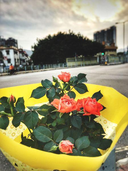 Flower Freshness Flower Head Leaf Roses🌹 バラ Yuen Long Hong Kong Yuenlong