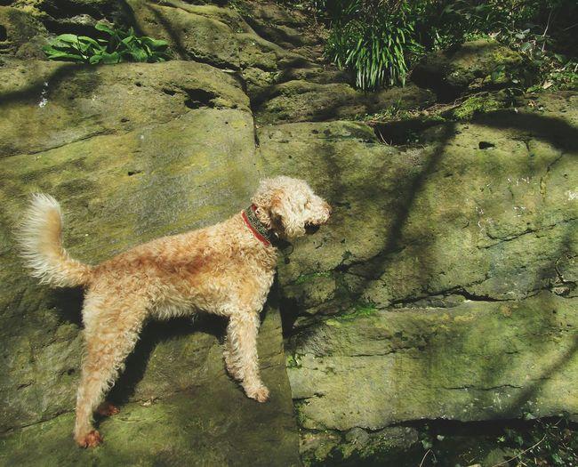 Dog Bedlington