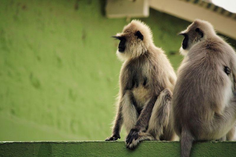 Monkeys sitting on wall