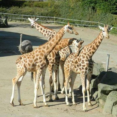 Giraffe Belfast Zoo