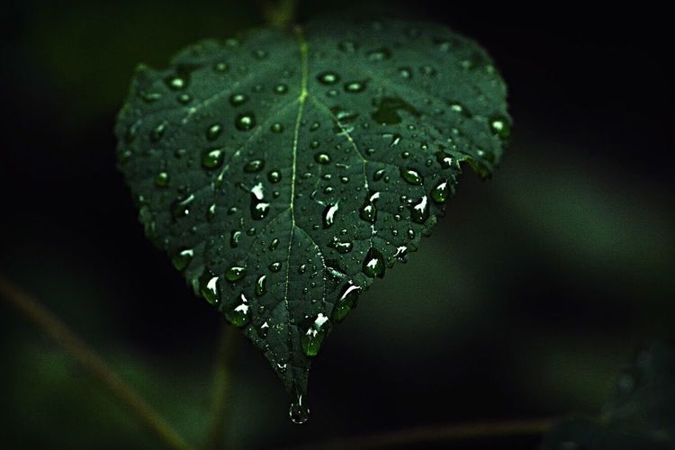Crying 🌧 Water Drop Close-up Leaf Nature Wet Focus On Foreground RainDrop No People Beauty In Nature Green Color Purity Freshness Day Outdoors Fragility EyeEm Best Shots Nikon Plant EyeEm Nature Lover Nature Lightroom Cottage Nature Photography