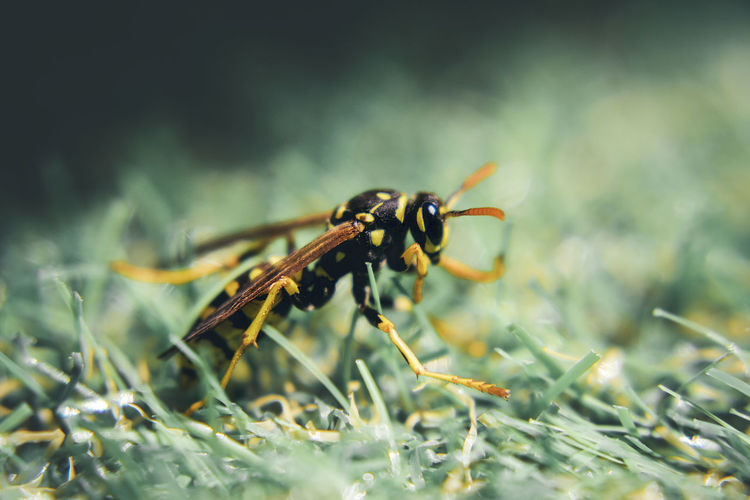 Close-up of wasp on grassy field