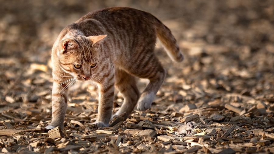 Such! Wo ist die Maus? 🐭 Hu5ky EyeEmNewHere Photography Pictureoftheday Cat And Mouse Cat Playing EyeEm Nature Lover Mouse Animal Themes Animal One Animal Mammal Animal Wildlife Animals In The Wild No People Nature Walking Sunlight Outdoors Day Focus On Foreground Young Animal Cat