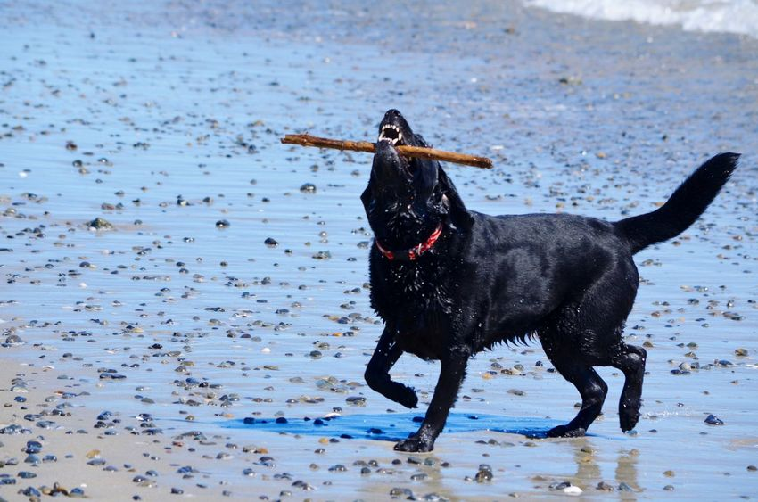 Dog Pets One Animal Animal Themes Black Color Black Labrador Sea Domestic Animals Beach Outdoors Labrador Retriever Water Playing No People Day Mammal Nature Beach Life Sand & Sea Fetching The Stick Pet Portraits