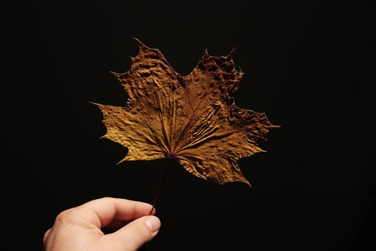 Cropped Hand Of Person Holding Maple Leaf